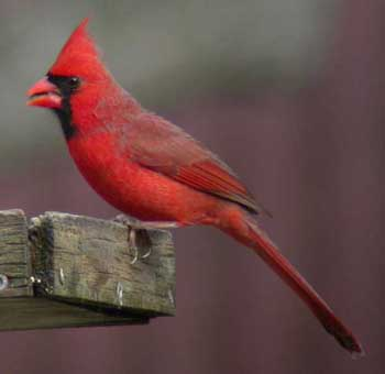 z-cardinal.jpg